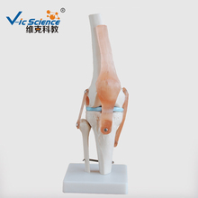 Skeleton Model of Life-Size Artificial Knee Anatomical Joint