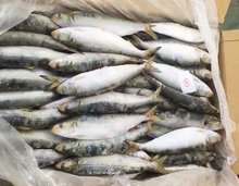 Frozen Style All Types Of Sardine Fishes For Canning