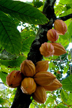valceco cacao plantation and manifactural company