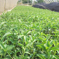 high germination tian ye ju zhong zi stevia leaves seeds for sale