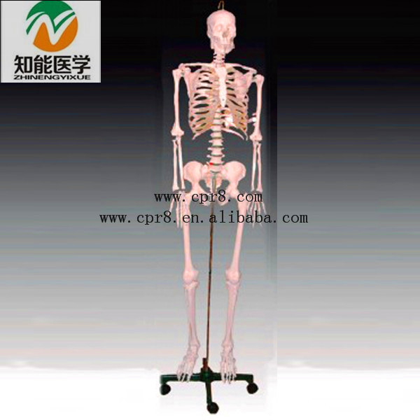 BIX-A1003 Medical science 42CM Human skeleton anatomical model