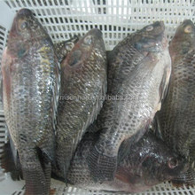 Fresh Frozen Chilled Whole Tilapia Fish 300-500g
