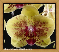 "Yellow Harlequin Phalaenopsis Orchid Plant in 3.5"" or 12 cm Pot Taiwan Orchid Nursery Phalaenopsis Plant"