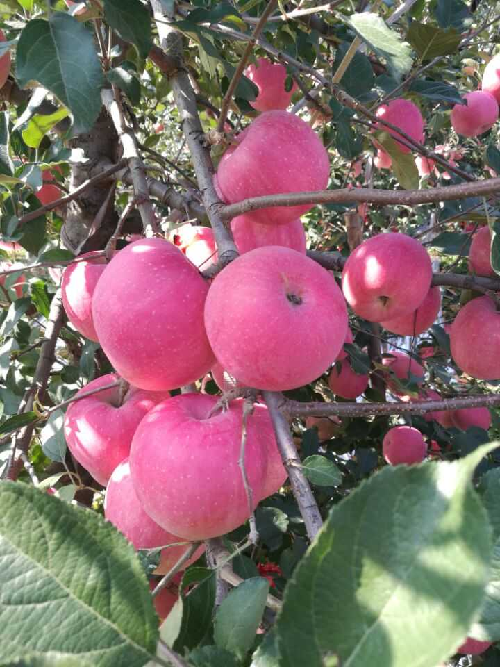 2016 China New Crop Red Fuji apple