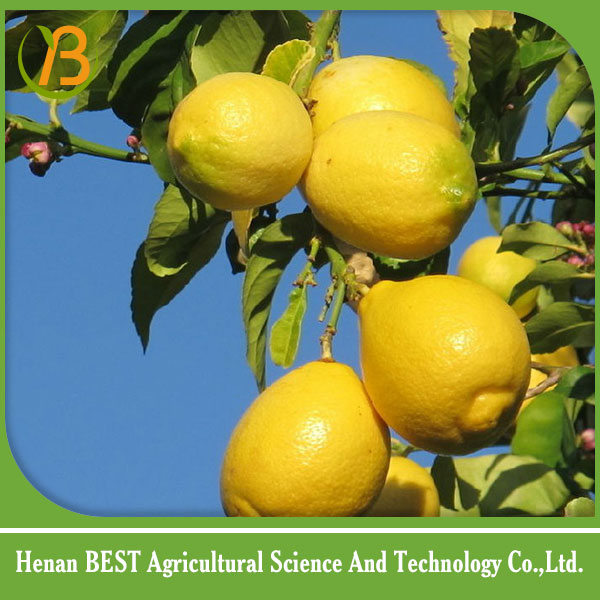 lemon fruit/ lemon health/natural lemon
