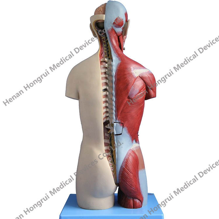 Advanced Human Anatomy Dual Sex Torso Model With Open Back
