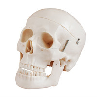 Medical teaching Human Skull 3D Model