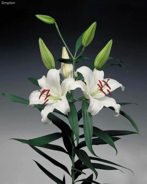 Supply high quality fresh cut oriental white lily