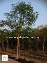 Delonix regia live trees for landscaping