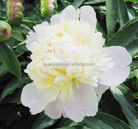 Factory supply natural tree White Peony Bark Extract / White Peony Extract powder / 80% Glycosides