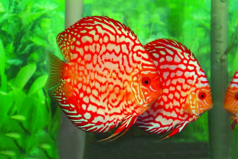 TROPICAL FISH PIGEON BLOOD DISCUS