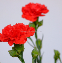 free shipping fresh cut promotional flowers carnation for turkey