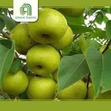 Professional sweet juice china shandong pear with high quality
