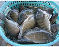 Whole round Frozen Tilapia producing smoked tilapia
