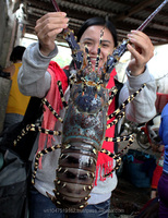 Viet Nam lobster