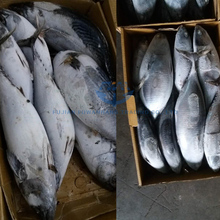 Seafrozen bonito tuna bonito tuna fish china factory