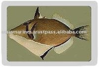 Whitelined Trigger Fish