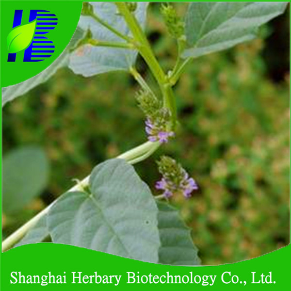 Herb plant psoralea corylifolia seed for plant