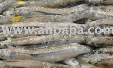 Silver Smelt whole (Odonthestes regia)