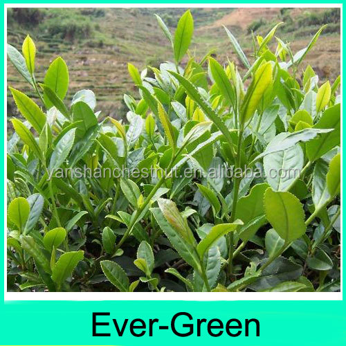 High grade green tea leaves