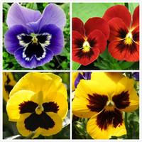 High quality F1 hybrid pansy flower seeds