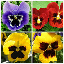 High quality F1 hybrid pansy flower seeds for growing