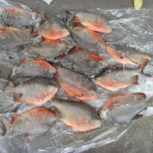 Delicious Frozen pomfret pacu <strong>fish</strong> 90%NW on sale