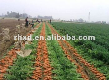 new bulk fresh carrots for sale with great price