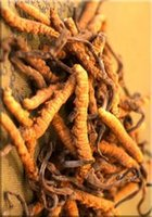 100% Pure Natural Wild Cordyceps Sinensis, Excellent quality and colour.