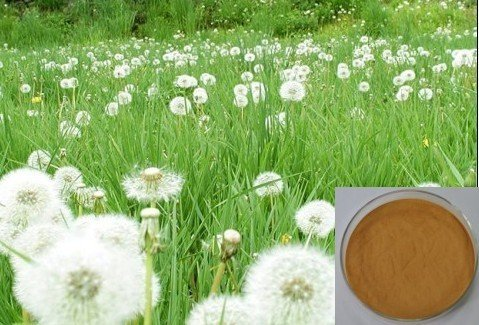 Dandelion Extract;Dandelion root extract powder;Dandelion powder