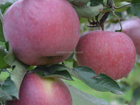 New crop Fuji apple fresh fruits of season