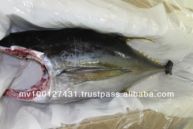 Whole Yellow fin Tuna H & G