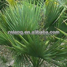 Saw Palmetto Extract factory