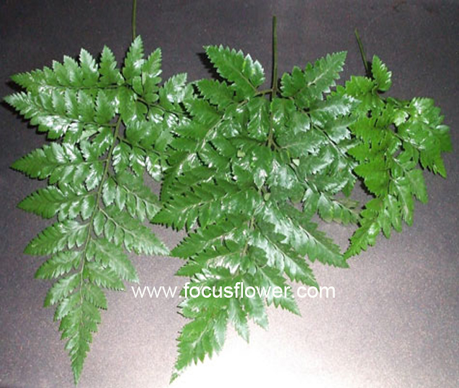 Online Shopping Leafage Fresh Fern From Kunming Foliage Fresh Fern