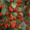 Goji berries that boost immunity of microbial content is up to the standard