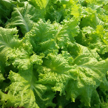 strong growth anti leaf American express Lettuce seeds