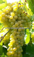 Yellow Globe Grape