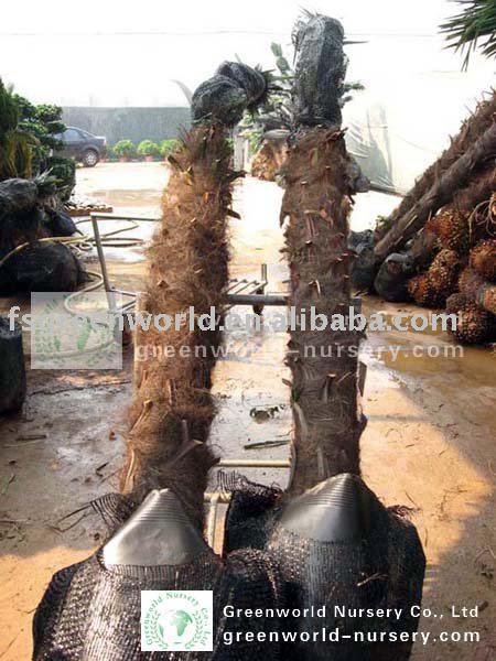 Trachycarpus Fortunei Potted In Bags View Chusan Palms Trachycarpus