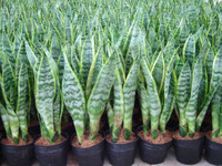 Sansevieria 3 pieces in one pot wholesale nursery