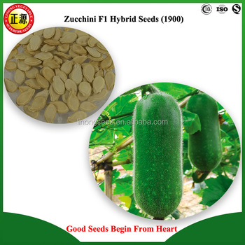 LINONG excellent quality and high yield JB1 zucchini F1 hybrid seeds