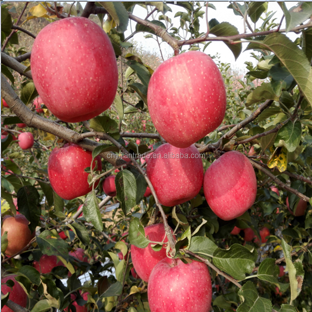 fresh fuji apple cheap apple red fuji apple with farm outlet price