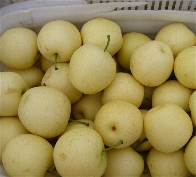 Manufacture Supply Natural qualified 2016 fresh grown pear