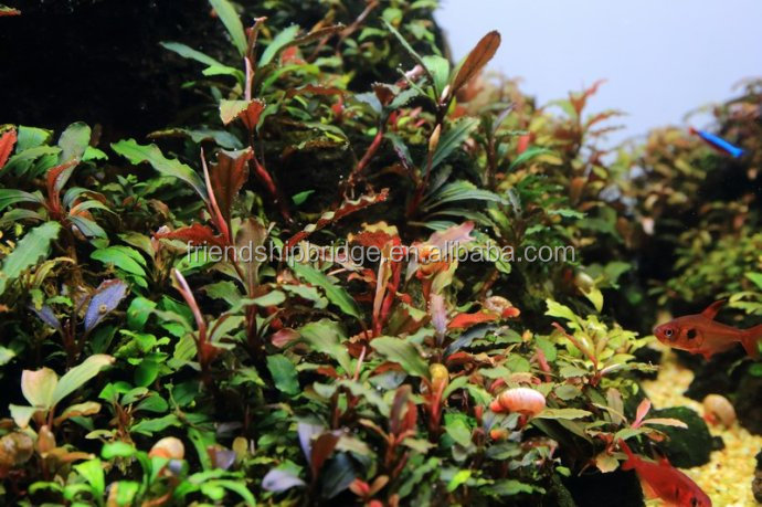 Easy to breed foliage plant Bucephalandra