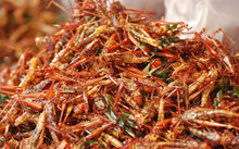 Edible insects.