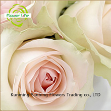 Real Fresh Peonies Cut Flowers With 5-8cm Big Bud White Cut Flower For Friend Gift