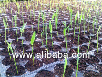 Bamboo Plantlets on tray