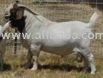 CONSULTANCY AVAILABLE FOR SETTING UP BOER GOAT FARM.