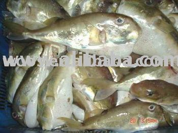 Fugu puffer fish buy fugu puffer fish fish seafood for Puffer fish price