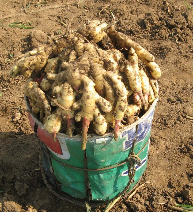 Chinese Professional Ginger Supplier market prices for ginger