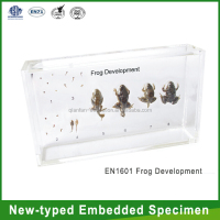 Qianfan Frog Development Teaching New-type Embedded Specimen School Supplies Wholesale